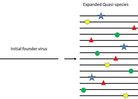 The founder virus with no mutations is on the left. After being copied though, mutations (shown as different colored spots on the genome) are introduced randomly across the genome.
