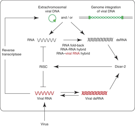 """After viral infection, viral genomes (viral RNA) or dsRNA intermediates (viral dsRNA) are propagated (red). Those viral forms are reverse-transcribed by cellular reverse-transcriptase activity into DNA forms (green) that may integrate into the host genome or be processed into extrachromosomal circular DNA. The sequences of viral origin, now in DNA form, will produce transcripts (black) that form dsRNA that is recognized by Dicer-2 and is further processed by a small RNA–related pathway. When viral small RNA from those transcripts reaches the RNA-induced silencing complex (RISC), the ongoing infection is contained and the acute infection is controlled. In this way, both cell and virus progress into a metastable equilibrium that defines the state of persistent infection."""