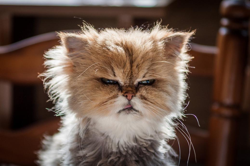 grumpy cat bigger
